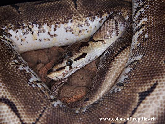 Königspython - Python regius (Spider)