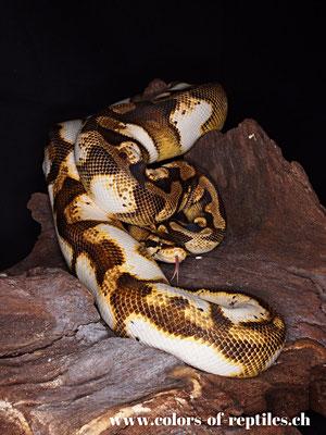 Königspython - Python regius (Calico-Enchi-Pastel)