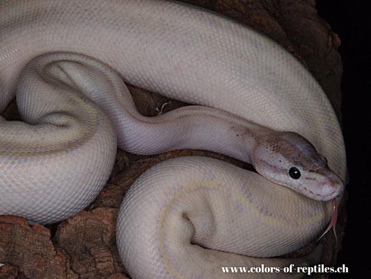 Königspython - Python regius (Ivory-Phantom)