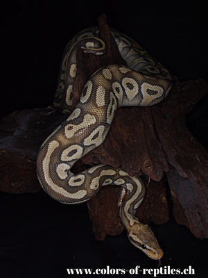 Königspython - Python regius (Mojave-Pastel-Ghost)