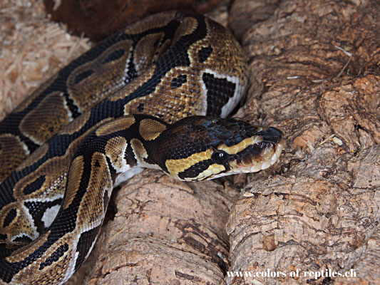 Königspython - Python regius (het. Albino)