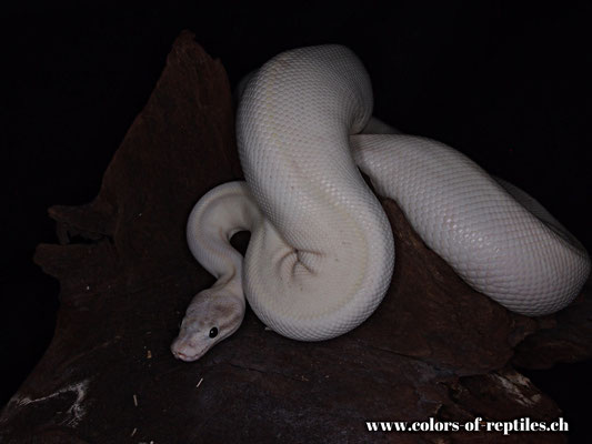 Königspython - Python regius (Ivory-Phantom Mojave)
