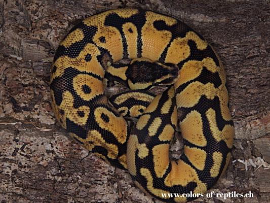 Königspython - Python regius (Pastel-Enchi)