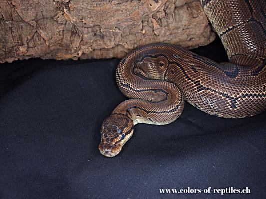 Königspython - Python regius (Pinstripe)