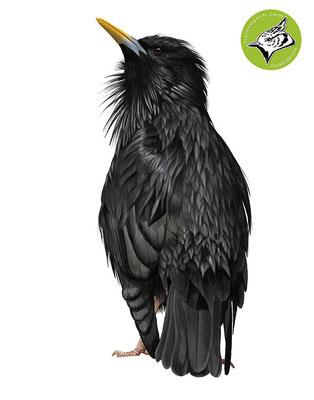 Estornino negro