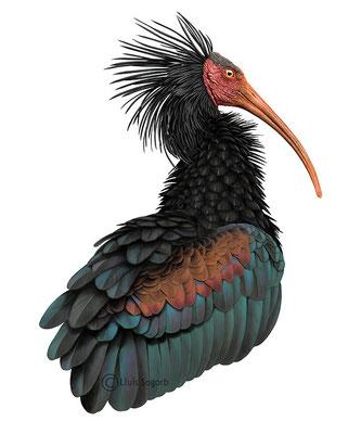 Ibis eremita - (2013) Primer premio. I Concurso de Ilustración de la Naturaleza de la Sociedad Gaditana de Historia Natural (SGHN)
