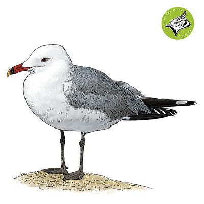 Gaviota de Audouin / Audouin's Gull / Gavina corsa