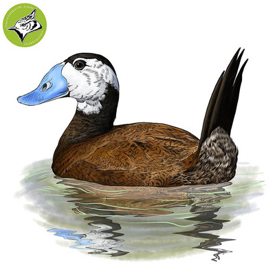 Malvasía cabeciblanca / White-headed Duck / Ànec capblanc