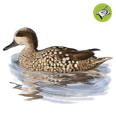 Cerceta pardilla / Marbled Duck / Rosseta