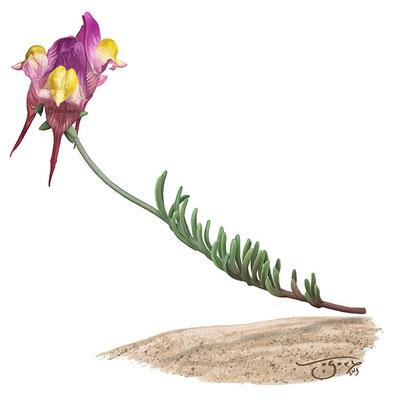Linaria arabiniana