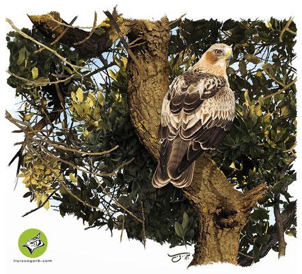 """Águila calzada. Ilustración para la portada de la Monografía """"El Águila Calzada"""""""