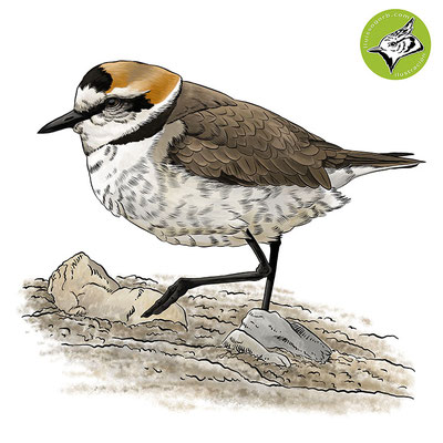 Chorlitejo patinegro / Kentish Plover / Corriol camanegre