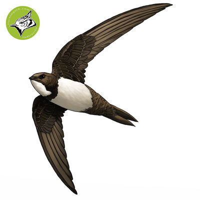 Vencejo real / Alpine Swift / Falcia de panxa blanca