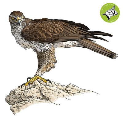 Águila perdicera / Bonelli's Eagle / Àguila de panxa blanca