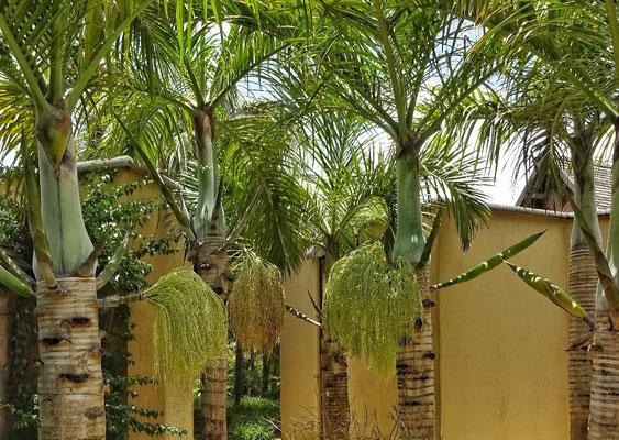 Die Palmen blühen!