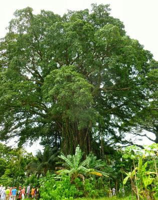 Größter Baum der Insel