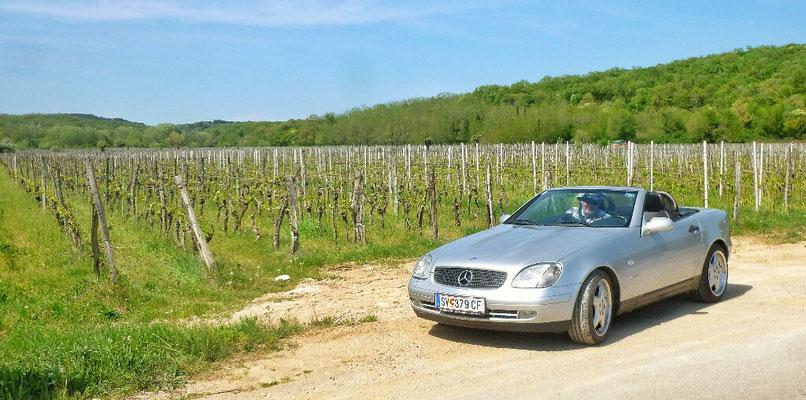Und im Weingarten von Vrbnik