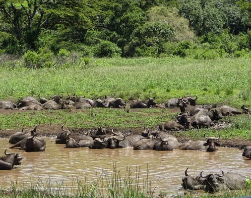 Viele Wasserbüffel