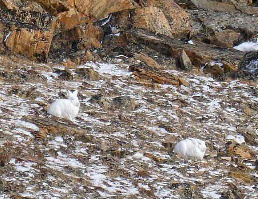 Zwei Schneehasen