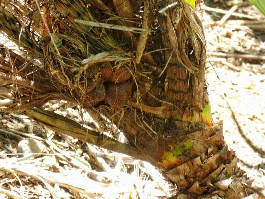 Schwer zu ernten an der Salakpalme