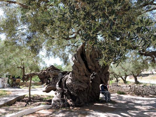 der tausendjährige Olivenbaum!