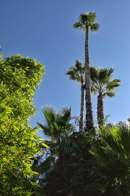 Viele alte Palmen