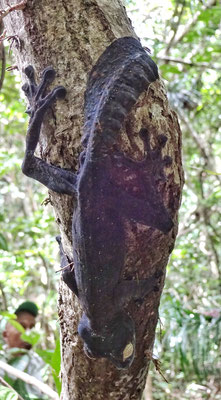 Fingergecko