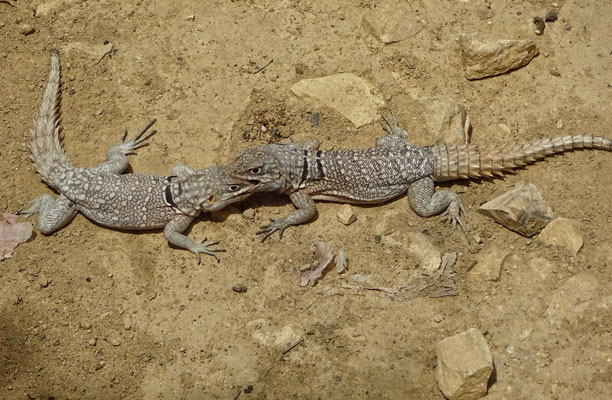 Mini Leguane