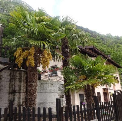 Blühende Palmen