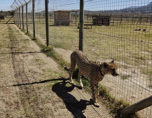 Geparden Schutzprogramm