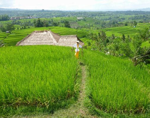 Reisterrassen von Jatiluwith