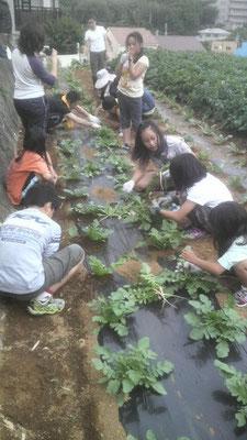 菊未会農業体験会(大根間引きと盛り土体験)