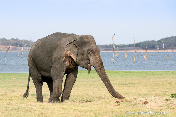 Ceylon olifant