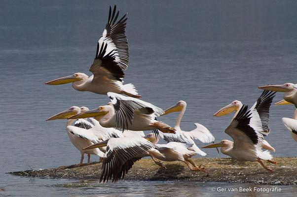 Roze pelikanen