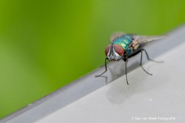 Groene keizervlieg
