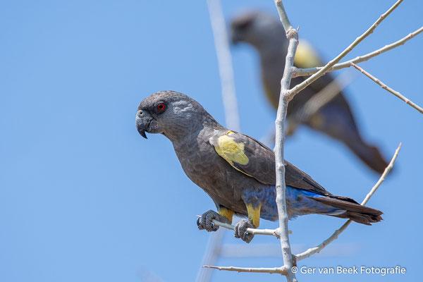 Rüppell's papagaai