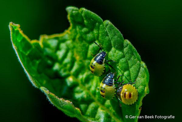 Nimfen van de groene schildwants
