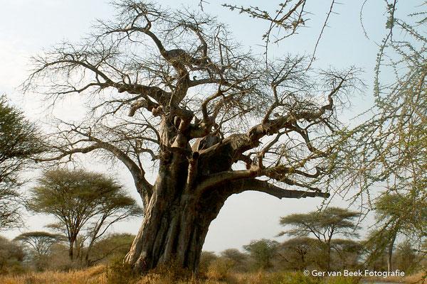 Baobab boom