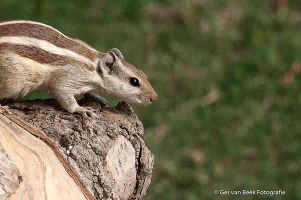 Indiase eekhoorn