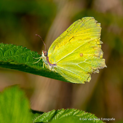 Gehavende vlinder ...