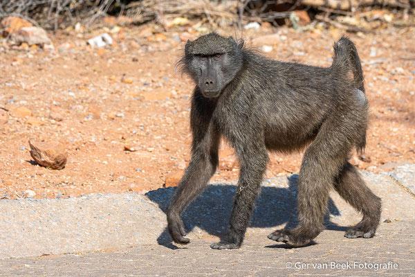 Kaapse baviaan