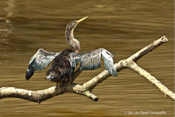 Amerikaanse slangenhalsvogel