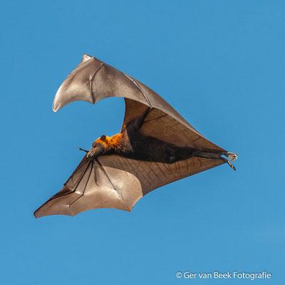 Vliegende Vos