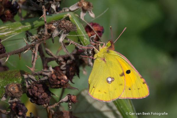 Oranje Luzern vlinder
