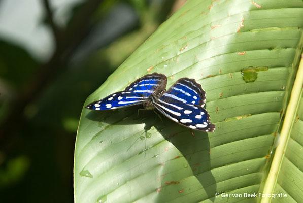 Blauwe morpho