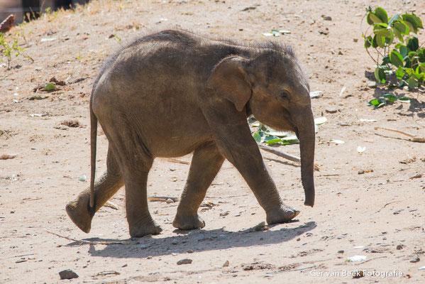 Jonge Ceylon olifant