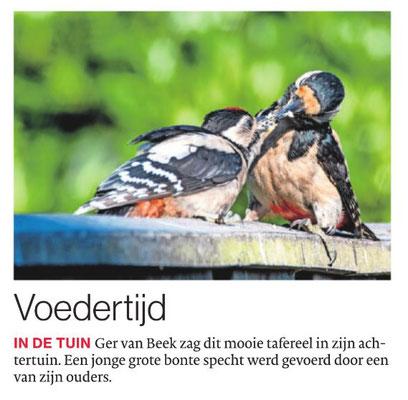 Grote bonte specht Brabants Dagblad