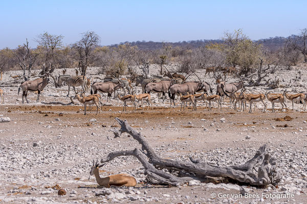 Spiesbokken, springbokken en elandantilope