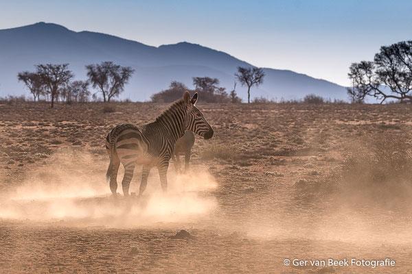 Steppe Zebra