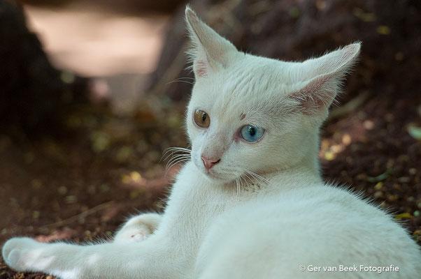 Albino kat